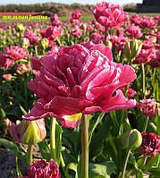 Тюльпан пионовидный  Justina