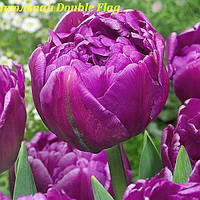 Тюльпан пионовидный Double Flag