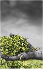 Силосоуборочный комбайн, кормоуборочный комбайн с роторной жаткой сплошного среза CHALLENGER  4, фото 3