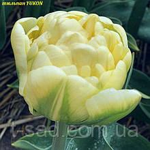 Тюльпан піоновідний YUKON 12+