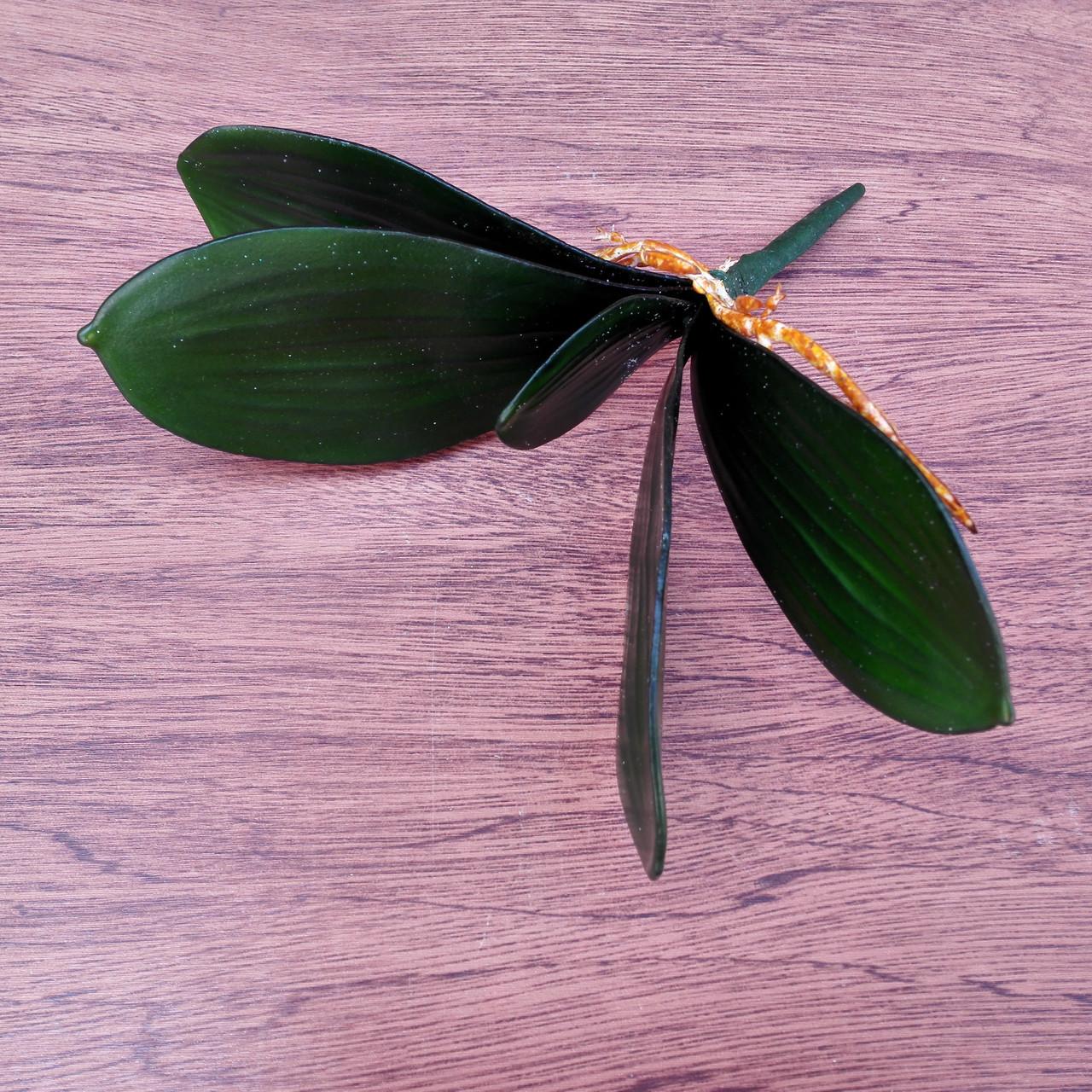Листья с корнем орхидеи 24 см средние