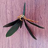 Листья с корнем орхидеи 24 см средние, фото 2