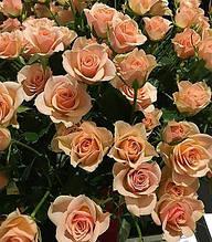 "Троянда спрей ""Ільза"""