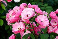 Саджанці троянд Анжела (Angela), фото 1