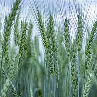 Эмерино, озимая пшеница RWA