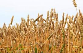 Юлия, озимая пшеница Selgen