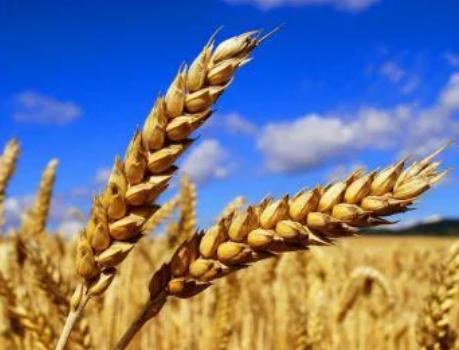 Даринка Киевская, озимая пшеница ІФРГНАН