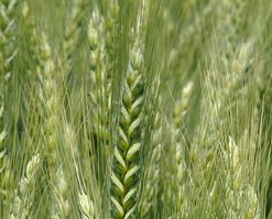 Подолянка, озимая пшеница ІФРГНАН