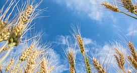 Манера одесская, озимая пшеница СГІНЦНС