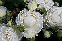 Саджанці троянд Артеміс (Artemis, Артемис), фото 1