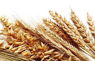 Cемена озимой пшеницы