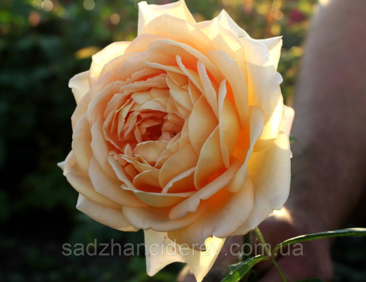 Саджанці троянд Голден Селебрейшн (Golden Celebration)