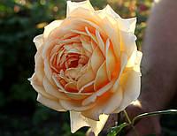 Саджанці троянд Голден Селебрейшн (Golden Celebration), фото 1