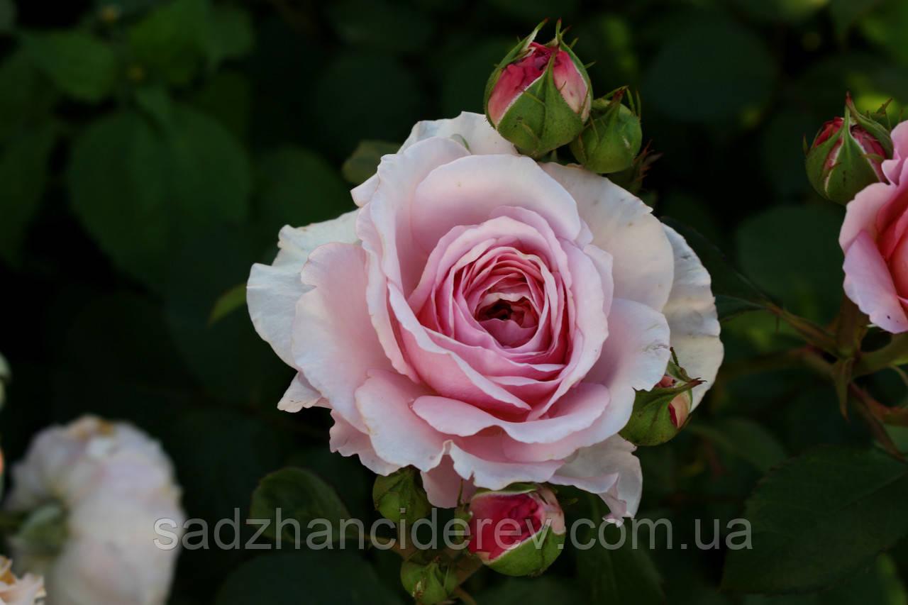 Саджанці троянд Джеймс Гелвей (James Galway, Джеймс Гэлвей)