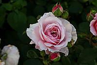 Саджанці троянд Джеймс Гелвей (James Galway, Джеймс Гэлвей), фото 1