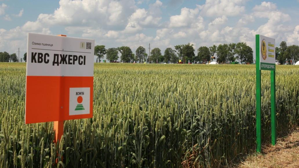 Насіння пшениці озимої КВС ДЖЕРСІ  п. 130 ц/га КВС Лохов ГмбХ, Німеччина