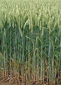 Насіння озимой пшениці Колоніа Оригінатор:Лімагрейн, 1 реп.