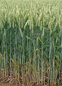 Насіння озимой пшениці Колоніа Оригінатор:Лімагрейн, 1 реп., фото 2