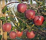 Яблоня Жеромин (Б7-35). (ввв). Зимний сорт, фото 3