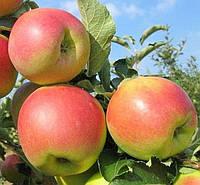 Яблоня Резиста. (Б7-35). Зимний сорт