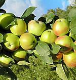 Яблоня Резиста. (Б7-35). (ввв). Зимний сорт, фото 2