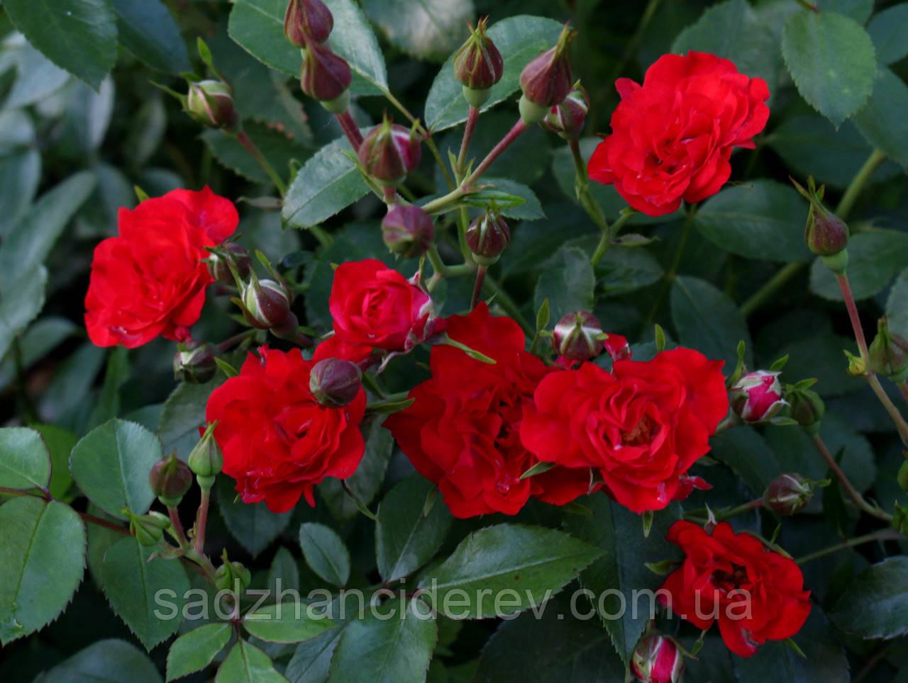 Саджанці троянд Ред Фейрі (Red Fairy, Ред Фейри)