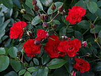 Саджанці троянд Ред Фейрі (Red Fairy, Ред Фейри), фото 1