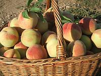 Саженцы персика. Клон сорта «Турист»