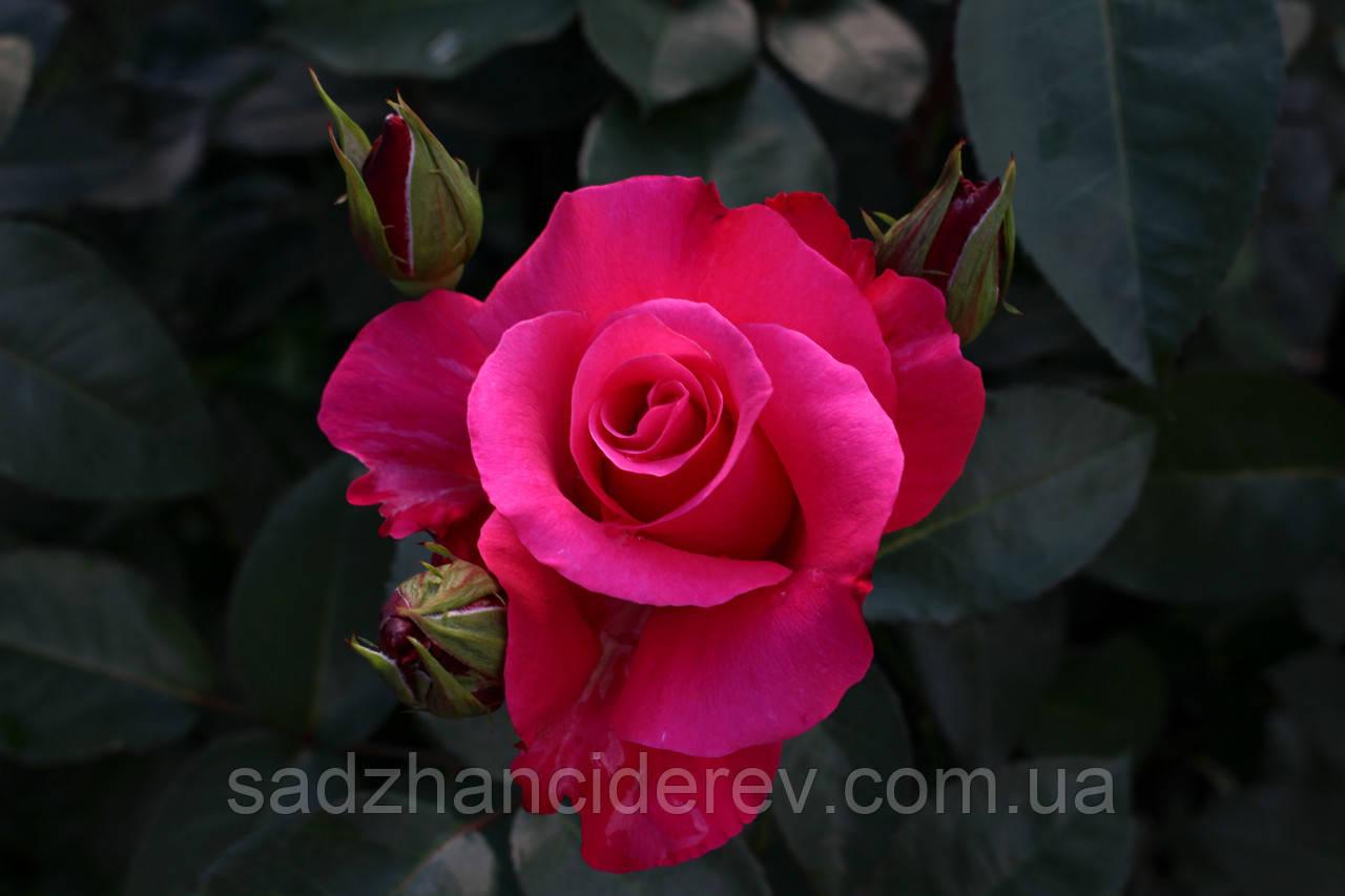 Саджанці Троянд Венроза (Venrosa,Пам'яті Висоцького, або Шопен малиновый)