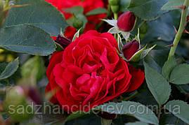 Саджанці Троянд Нахеглут (Naheglut)