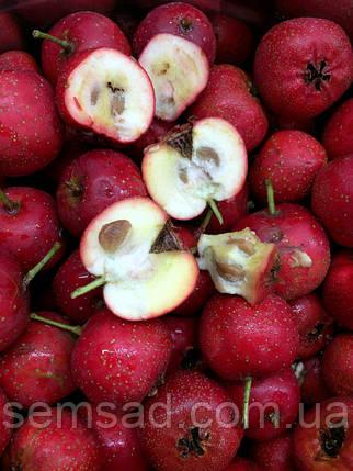 Боярышник Крупноплодный привитой ( саженцы 40 - 60см ), фото 2