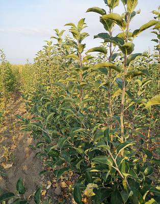 Саженцы яблони на подвое ММ106 - Весна 2021