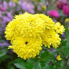 Хризантема, желтая