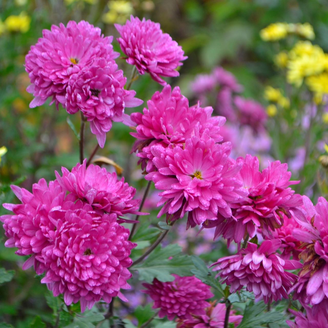 Хризантема мелкоцветковая, розовая