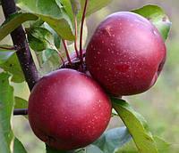 Саженцы красномясой яблони  Байя Мариса (однолетний)