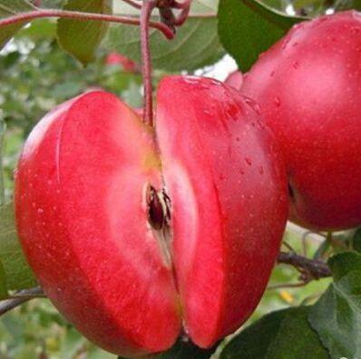 Саженцы красномясой яблони Ред Кетти (однолетний)