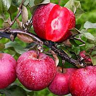 Саженцы красномясой яблони Сирена (однолетний)