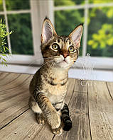 Кошечка Чаузи Ф2 (orange collar) дата рождения 27.03.2020. Питомник Royal Cats. Украина, Киев