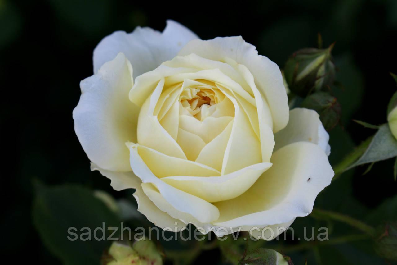 Саджанці троянд Зе Пілігрім (The Pilgrim)