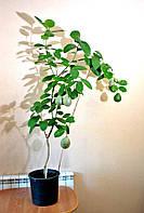 Лимон Киевский  высотой 1м с плодами