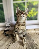 Кошечка Чаузи Ф2 (yellow collar) дата рождения 27.03.2020. Питомник Royal Cats. Украина, Киев, фото 1