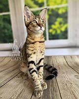 Котёнок Чаузи Ф2 (white collar) дата рождения 27.03.2020. Питомник Royal Cats. Украина, Киев