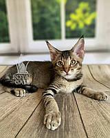 Котёнок Чаузи Ф2 (red collar) дата рождения 27.03.2020. Питомник Royal Cats. Украина, Киев
