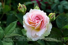 Саджанці троянд Цезар (Cesar, Цезарь)