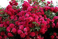 Саджанці троянд Супер Ексцельза (Super Excelsa), фото 1