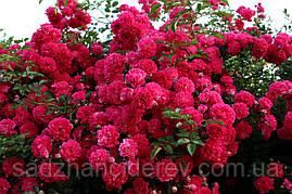 Саджанці троянд Супер Ексцельза (Super Excelsa)