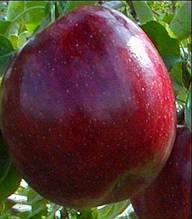 Яблуня Рубін Стар