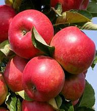 Яблуня Теремок