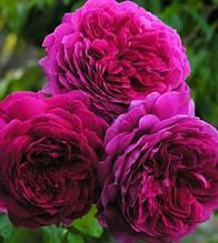 "Троянда англійська ""Young Lycidas"""