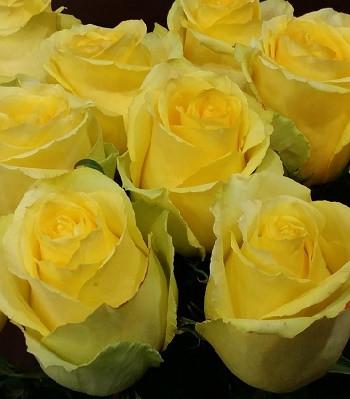 """Троянда ч/г """"Бікіні"""""""